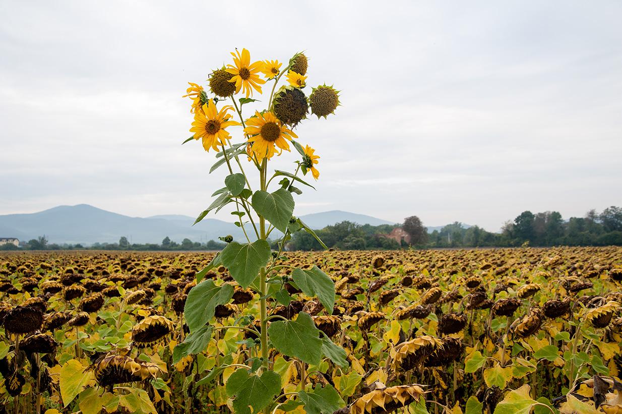 Sonnenblumen (43)