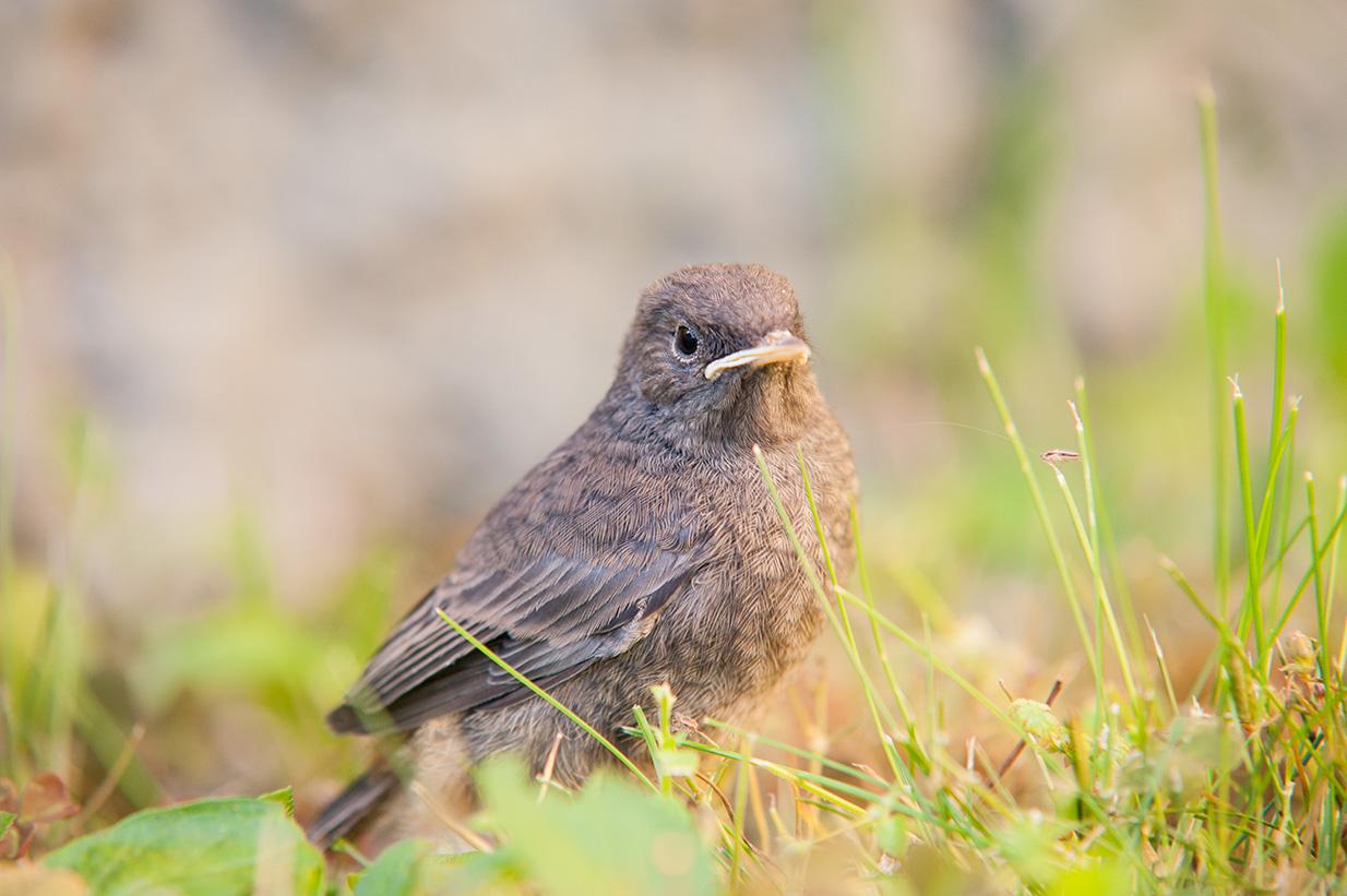 rotschwänzchen jungvögel (10)
