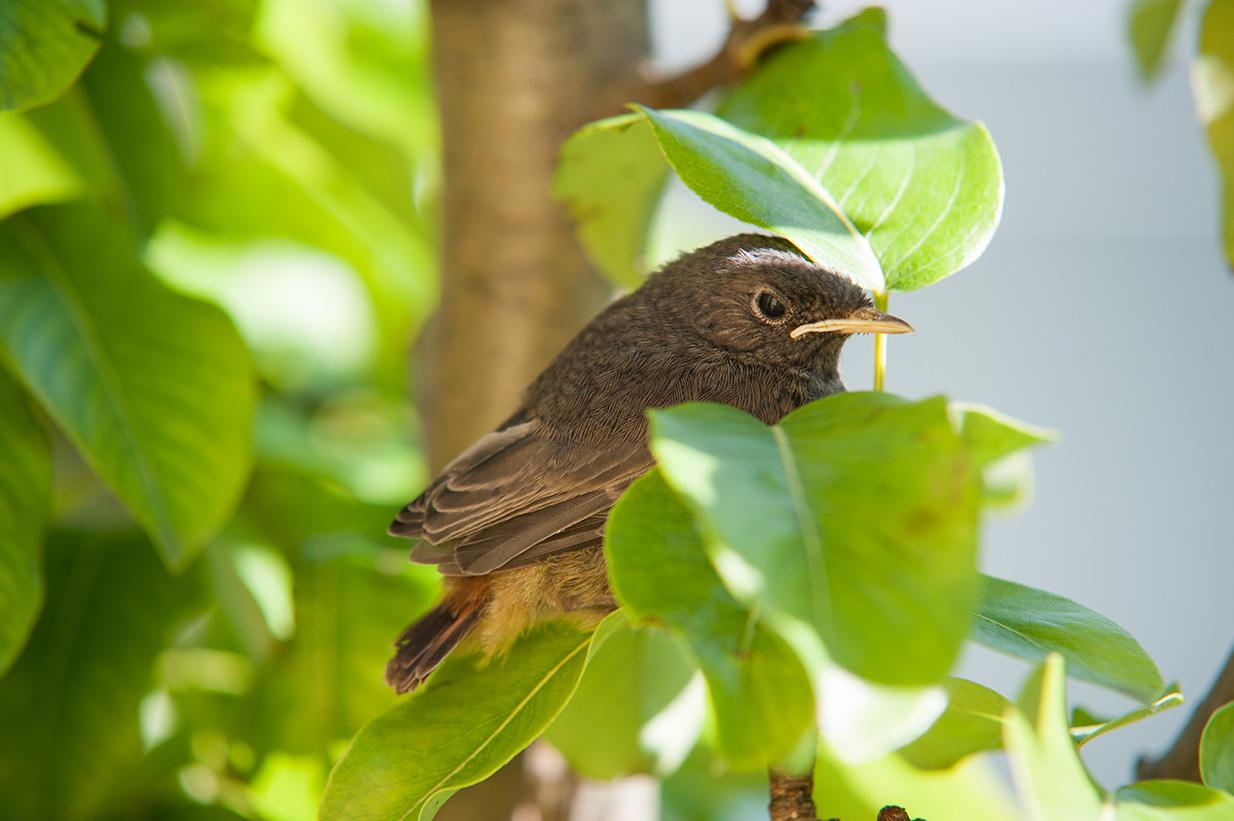 rotschwänzchen jungvögel (13)