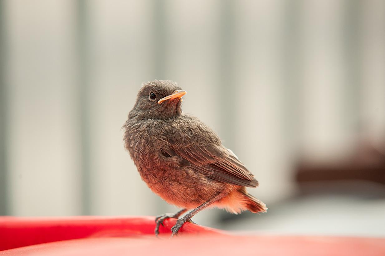 rotschwänzchen jungvögel (37)